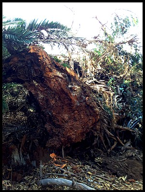 The toppled tree's base