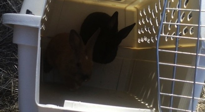 Two of the rescued rabbits