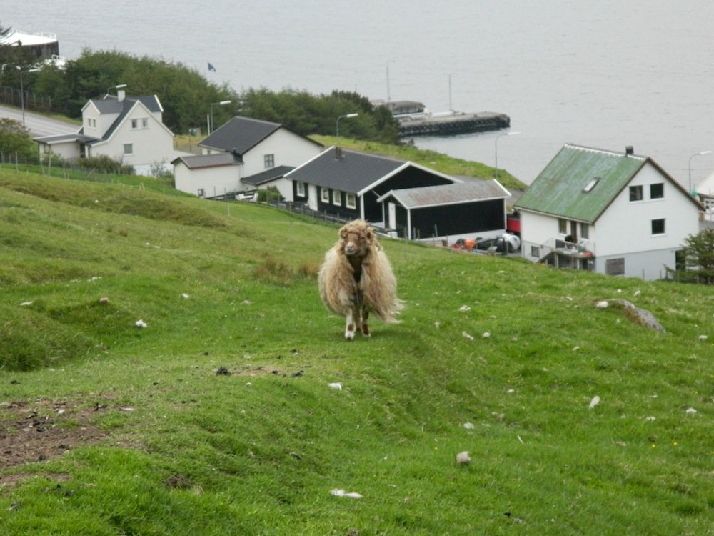 One of the Faroe Islands' shaggy-looking sheep.