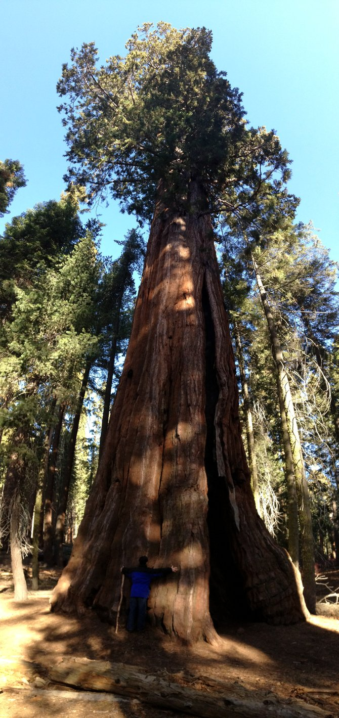 Tree Hugger.  Sequoia National Park, CA.