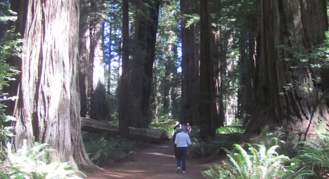 A walk in Redwoods National Park, home to the tallest trees in the world.