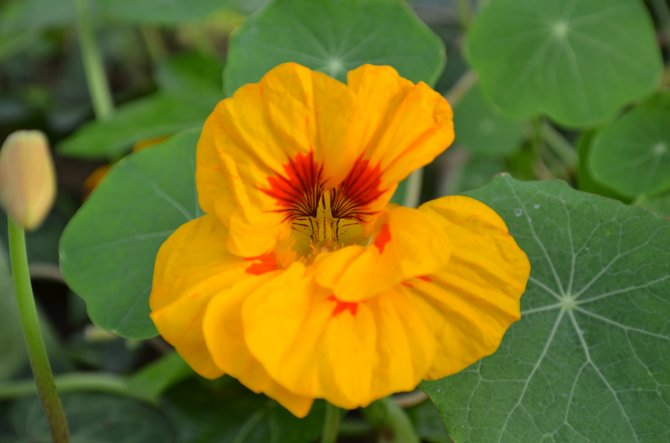 Beautiful nasturtium flower in Ocean Beach,.