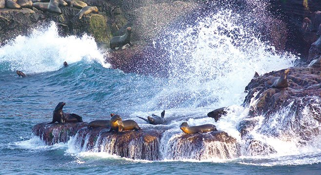 """The colony """"hauling out"""" on the rocks and swimming around the waters of the Cove has grown logarithmically."""