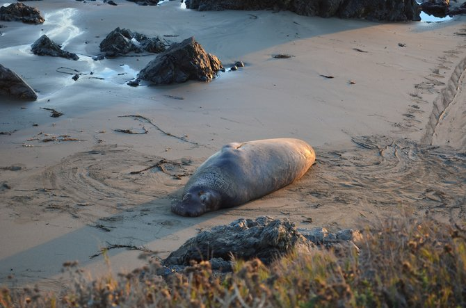 Sleeping elephant seal, Piedras Blancas Rookery, north of San Simeon, California.  December 2013.