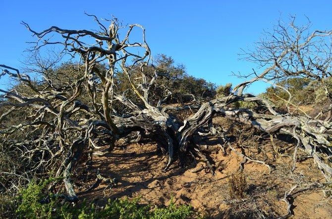 The gnarled remains of the rare Morro Manzanita, near Los Osos Oaks Reserve, San Luis Obispo, California.  Even in death, a great beauty.  January 2014.