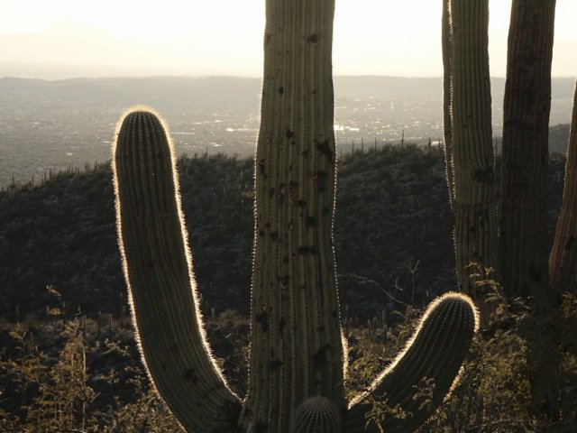 Looking out over Tucson, Saguaro cactus in the foreground. (stock photo)