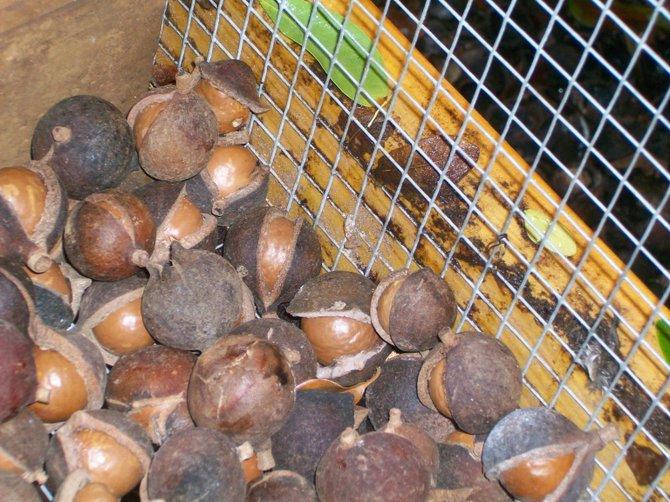 Macadamia nuts ready to be cracked at the Nut Farm.