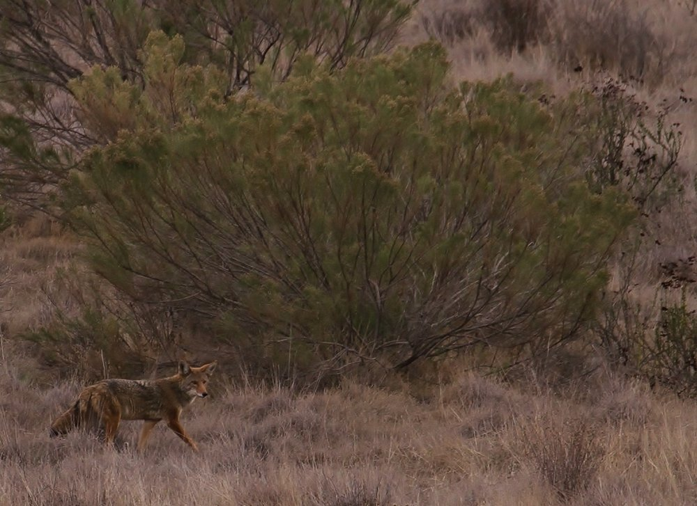Coyote (photos by David Cooksy)