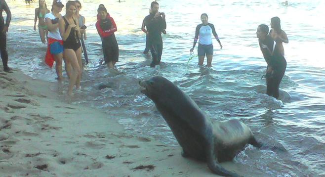 Seal at La Jolla Cove