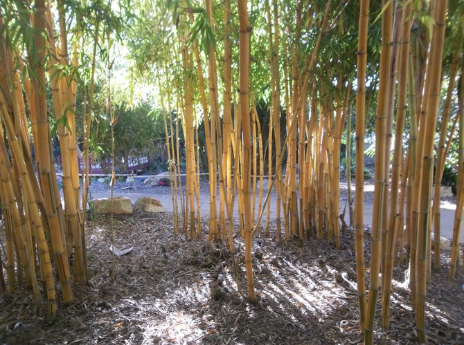 In the Bamboo Garden, said to be the largest bamboo collection in the country.