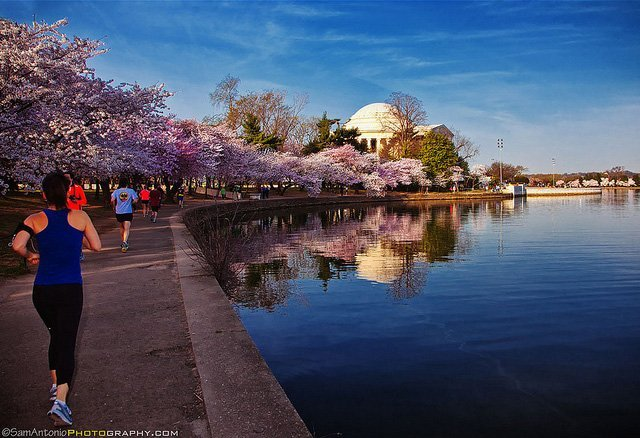 Early morning joggers pass cherry trees in bloom along the Tidal Basin.