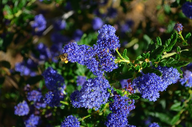 "Ceanothus ""Concha"" blooming in my backyard.  Rancho Penasquitos.  March 2014.  The deep blue color of this hybridized California native is particularly lovely."
