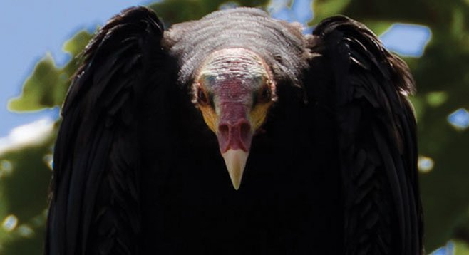 "This yellow-headed vulture is Zopilote Cathartes —  ""the purifier."""
