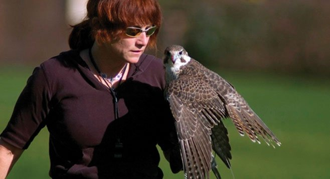 "Master falconer Kate Marden on capturing this bird of prey: ""It's like catching a baby dragon."""