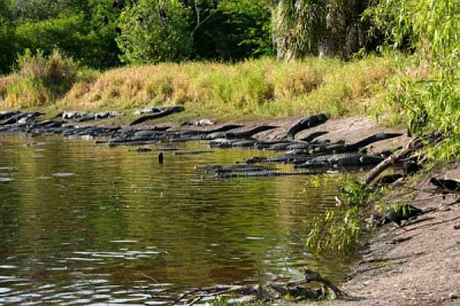 Alligators basking in the sun at the park's Deep Hole.