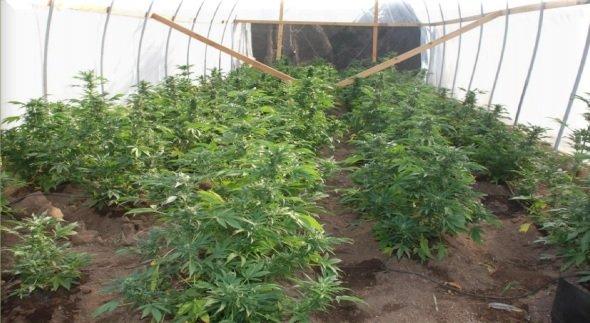 One of six greenhouses raided. Photo: San Diego Sheriff