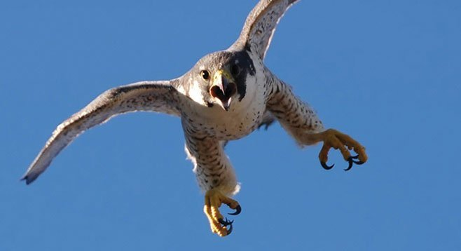 """Master falconer Kate Marden: """"The sport is changing; more women are involved and it's less secretive."""""""