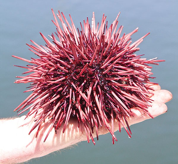 What they call sea-urchin roe is actually sea-urchin sex organs. No wonder they say it's an aphrodisiac.