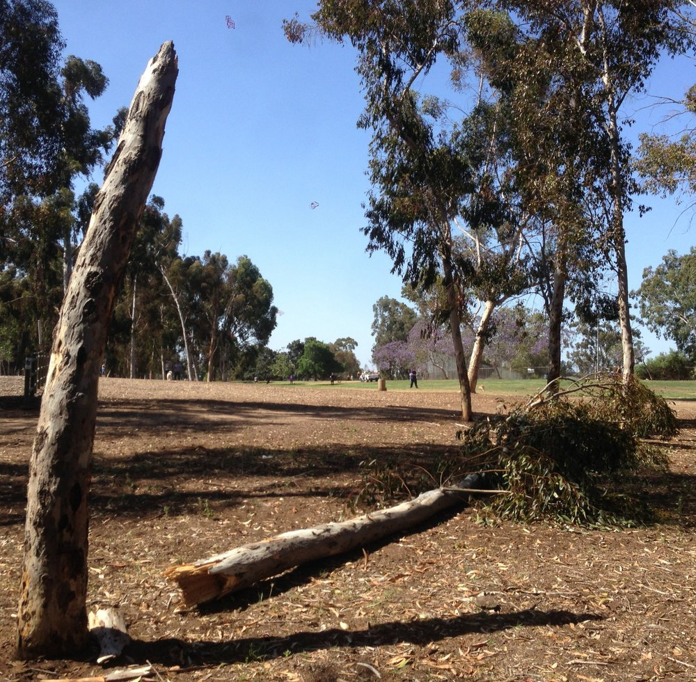 Recently fallen tree at Grape Street Dog Park
