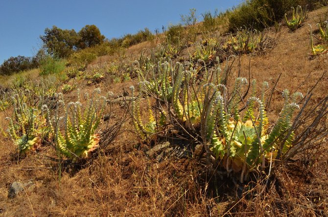 Awesome Dudleya pulverulenta colony on I-78 East, near San Marcos.  Very old and very lovely.