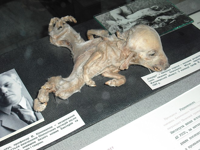 Hey there, Chernobyl pig! Bet you wish there'd been a radiation-eating bug around in your day, huh?