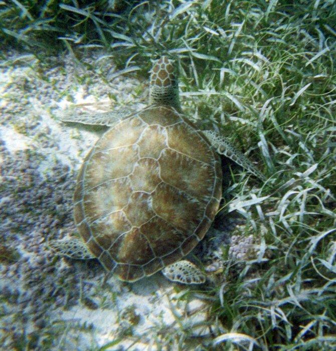 Sea Turtle at Hol Chan Marine preserve