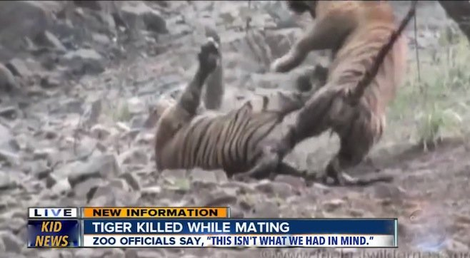 san diego zoo safari park issues clarifying statement on tiger power