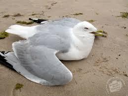 nauseous bird