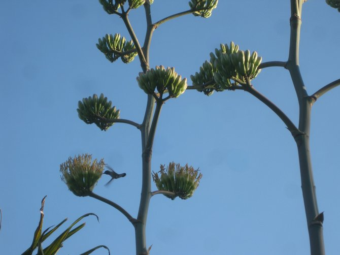 As I was focusing my camera on the 'flowers' of a 12-feet yucca, a humming bird flew in.