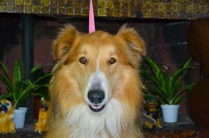 Collin the Collie adopted from Dog Rescue Without Borders