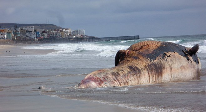 The fin whale that washed up in Imperial Beach on May 24 after an unsuccessful tow out to sea  - Image by Marty Graham