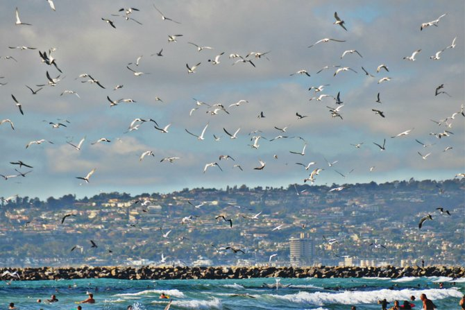 Rare migratory swarms of sardines and anchovies prompt thousands of sea birds to claim their part of the moveable feast. The fish have been spotted in the coastal waters of San Diego for the past two weeks, first in La Jolla, this time in Ocean Beach.