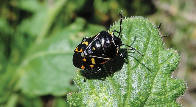 Easy to miss is the harlequin bug.
