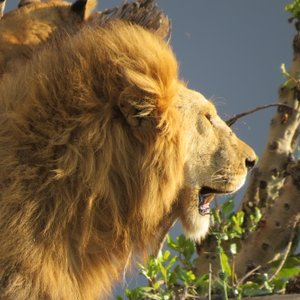 This photo was taken during my study abroad experience with the School for Field Studies this past semester in Kenya and Tanzania. This particular picture I took of an adult male lion was just before sunset. The pride was about 12 deep and scattered all over this kopje but this male stood up and walked to the edge of the rock formation and opened his mouth. The light was perfect.