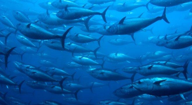 Bluefin tuna - Image by Gary Stokes