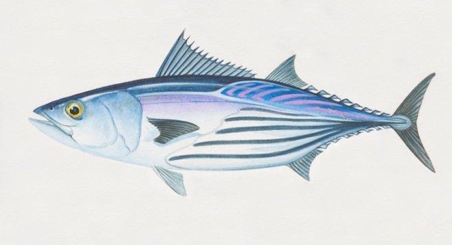 Skipjack Tuna, Katsuwonus pelamis