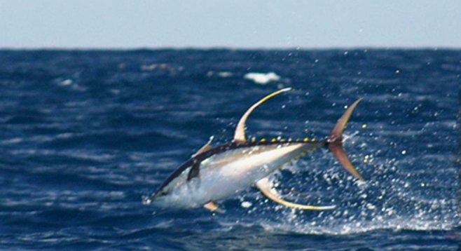 Tuna in skiff range san diego reader for King fish long beach