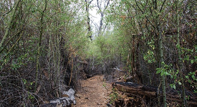 After 2003's Cedar Fire, ceanothus made such a strong comeback that machete work was necessary to clear the trail.