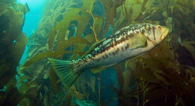 Calico bass (aka kelp bass)