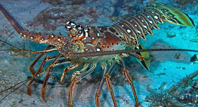 Spiny Lobsters Live To See Another Day San Diego Reader
