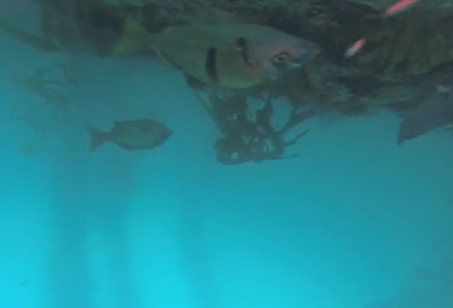 Upside-down fish caught on camera