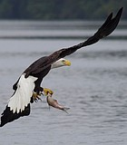 Early Lunch This Bald Eagle is picking up his early lunch, one handed, on the ...