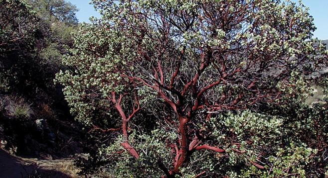 Beautiful, gnarled old manzanitas along the trail