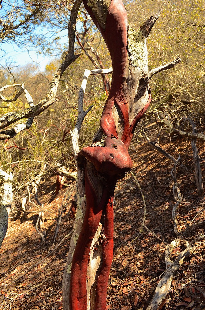 Knotted trunk of Arctostaphylos glandulosa at Del Mar Mesa, Rancho Penasquitos.  November 20, 2014.