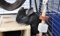 Photo of rescued chinchilla from PETA's website.