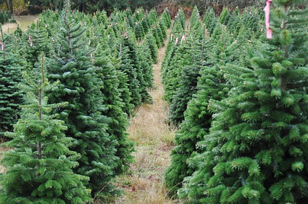 """#The ten-acre family-owned Family Christmas Tree Farm in El Cajon grows  California Monterey pine trees. """"Each tree is individually priced, but you  can get a ... - Get Your Christmas Tree On San Diego Reader"""