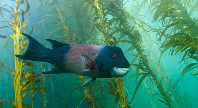 A sheephead in a kelp forest. - Image by Alexander Sher