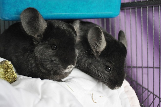"""Chinchillas named """"Brad"""" and """"Angelina"""" following their acquisition by PETA"""