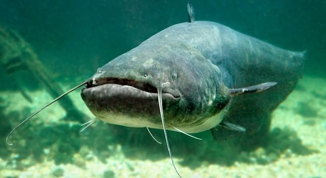 Catfish (Silurus Glanis) - Image by Vladimir Vitek