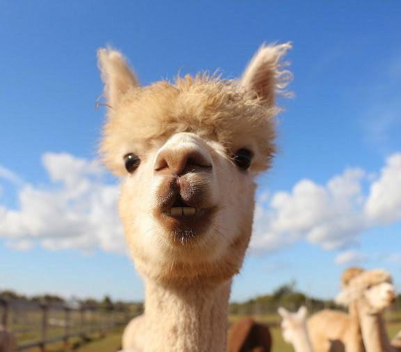 The Green Gable alpacas keep the snout cam busy.